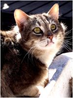 cats of the hill - tabby by Defies