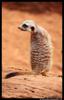 Baby Meerkat: Scout by TVD-Photography