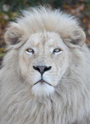 White Lion 2964b by DPasschier