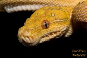 Young green tree python head by AngiWallace