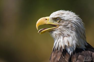 Bald Eagle by vetchyKocour