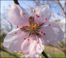 Plum Tree.First sign of Spring by Angelinleather