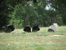 Graveyard Turkeys by kittenwylde