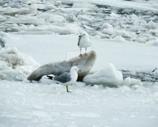 Seagulls On Ice by foxvox