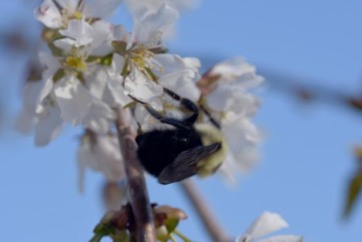 2018 Spring First Sighting, Bee and Blossoms 34 by Miss-Tbones