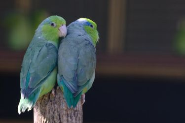Parrot couple by nebelkerze
