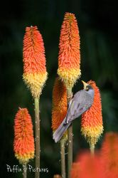 Noisy Miner With Aloe by tuftedpuffin