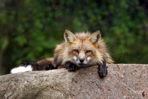 Marcus, the Fox resting on rock by JaneFox