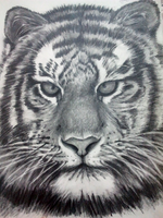 Tiger, Black and White Pencil Doodle by Jessanmartin