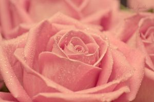 Stereotypical rose shot. by divine--apathia