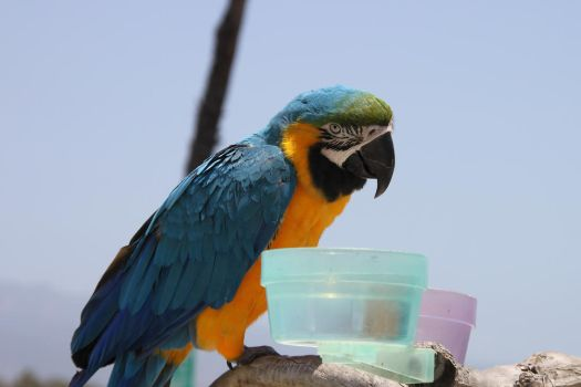 Blue-and-yellow Macaw by Yoh-Boo