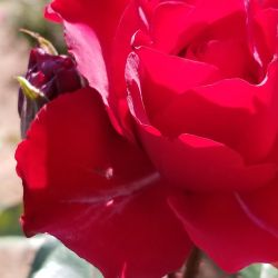 Red rose and sibling bud by MurcMarischal