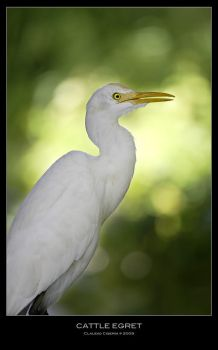 Cattle Egret by ClaudeG