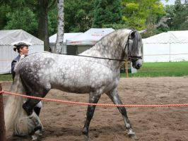 Dapple Grey Stallion Stock by AngelSTOCK22