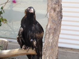 Aileron Roadhouse - Aileron's Wedge-Tailed Eagle by TricoloreOne77
