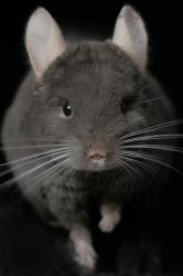 Chinchilla Sheldon 2 by valkeryne