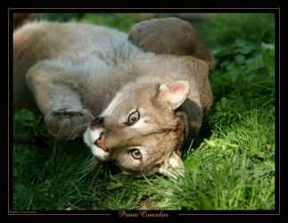 Puma Concolor by caracal