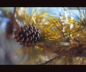 Pinecone by MRBee30