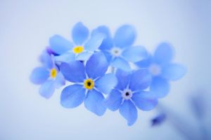 Forget-me-not by SarahharaS1
