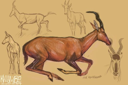 Red hartebeest by kalambo