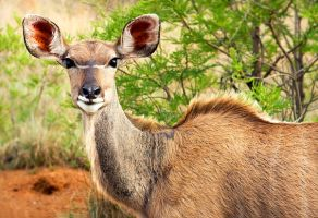 Kudu cow by H6RM