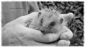 A baby hedgehog by Peace-Cat