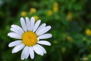 Lonely Daisy by Spid4