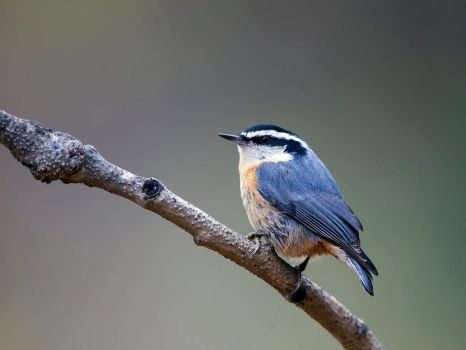 Red-breasted Nuthatch by madmoonhowl