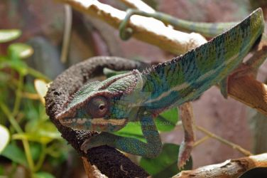 Tiger Chameleon by wwcrap