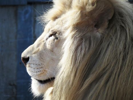 White Lion Stock 8 by HOTNStock