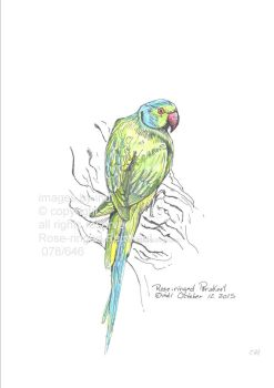Rose-ringed-parakeet078 by SarmatianWarrior