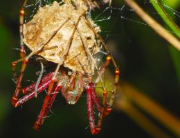 Green Lynx Spider and Egg by Larah88
