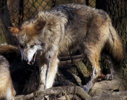 Mexican Wolf Stock 23 by HOTNStock