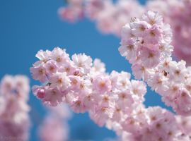 Japanese Cherry Blossoms by enaruna