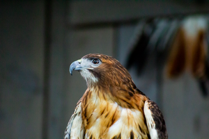 Red Tailed Hawk by AaronMk