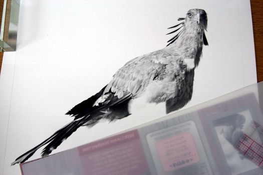 Secretary Bird drawing5 by sharppower