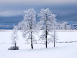The four wintry aspens by Morgan-Lou