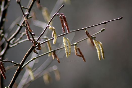 Catkins by clan-badger