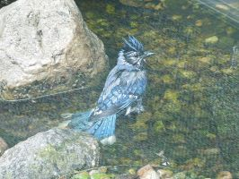 Bathing Blue Jay by GeminiGirl83