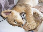 Simba and Timon Real life by roney2011