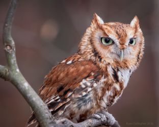 Red Eastern Screech Owl by ryangallagherart