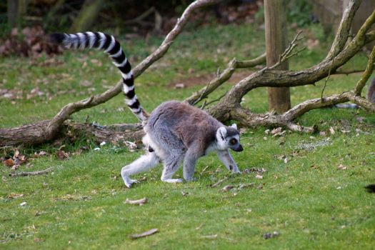 Strutting Lemur by colexus