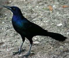 Grackle 'Raven' by Della-Stock