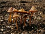 Conocybe by Oniroid