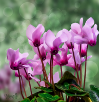 Cyclamen by vanndra