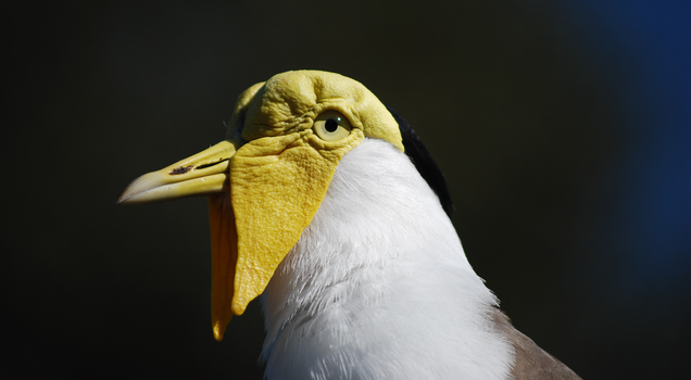 Masked Lapwing Portrait by CompassLogic
