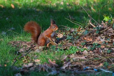 Red Squirrel I by Saromei