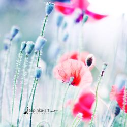 red poppy by topinka