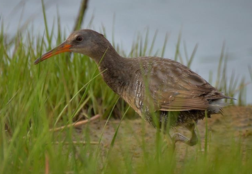 Clapper Rail 007 by Elluka-brendmer