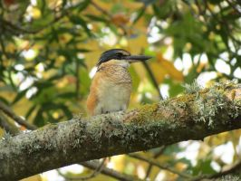 juvenile sacred kingfisher by kiwipics